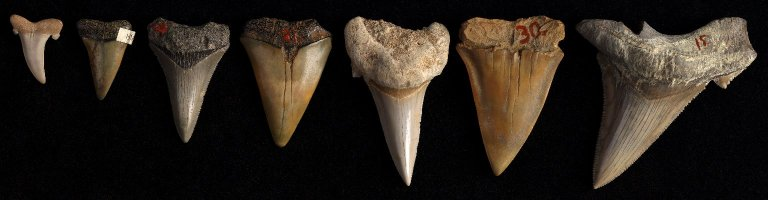 Five Prehistoric Shark's Teeth, N/A