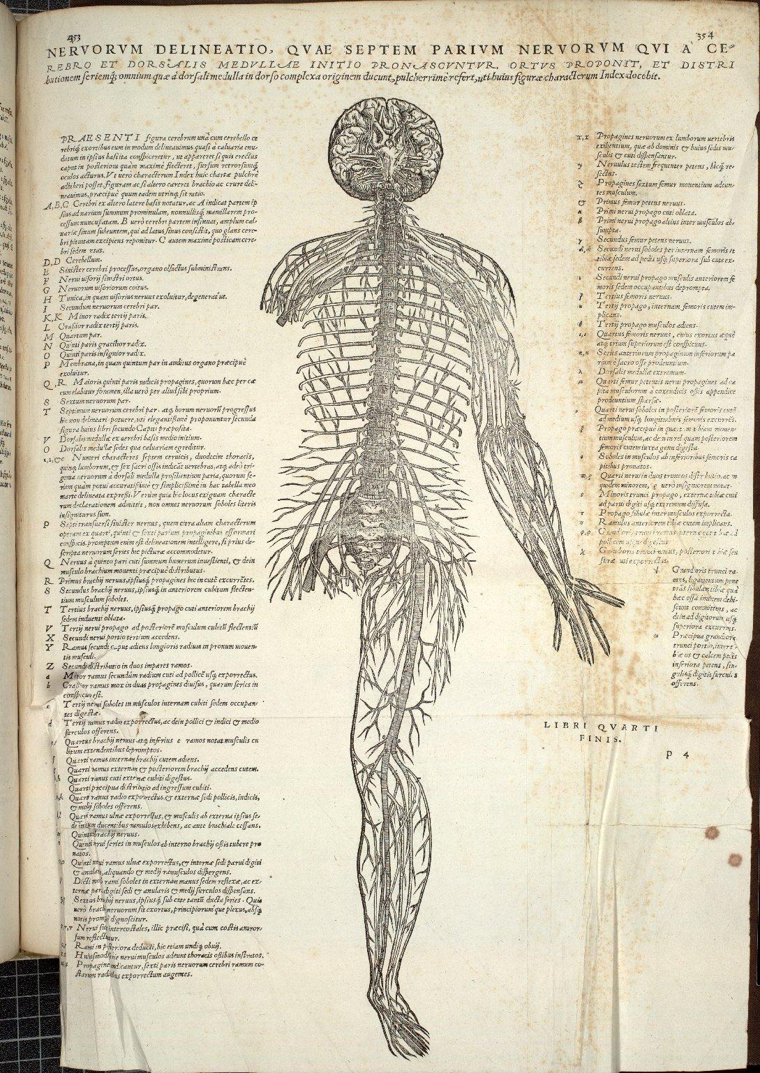 Nervorem delineatio, quae septem parium nervorum qui a cerebro et dorsalis medullae initio pronascuntur ortus proponit.