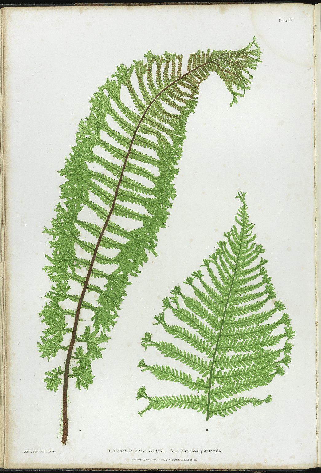 The Ferns of Great Britain and Ireland, pl.XVI